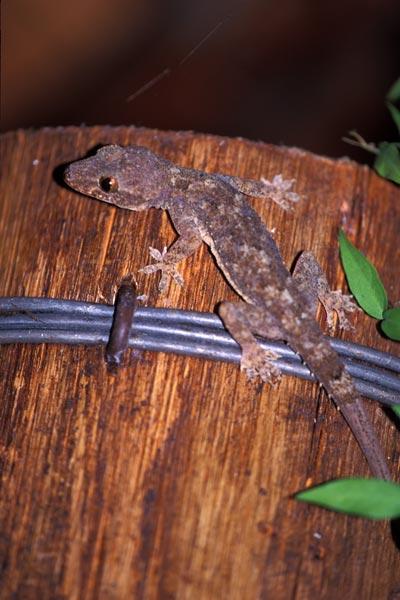 Wild Herps - Wood Slave (Hemidactylus mabouia)