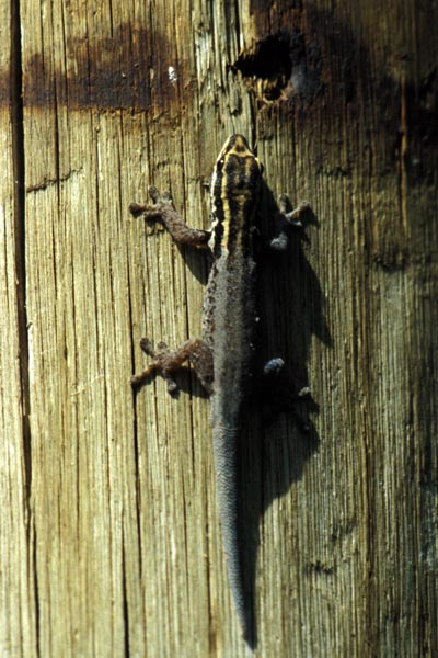 White-headed Dwarf Gecko (Lygodactylus picturatus)