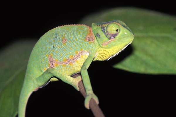 009313_graceful_chameleon.jpg