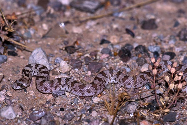 Spotted Leaf-nosed Snake (Phyllorhynchus decurtatus)