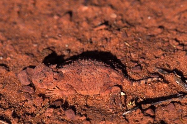 Wild Herps - Desert Horned Lizard (Phrynosoma platyrhinos)