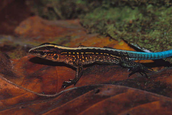 Central American Ameiva (Holcosus festivus)