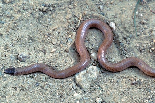 Black-headed Snake