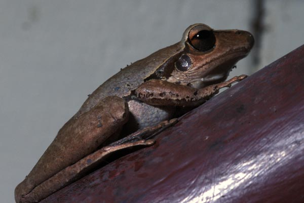 Eastern Stony Creek Frog (Litoria wilcoxi)