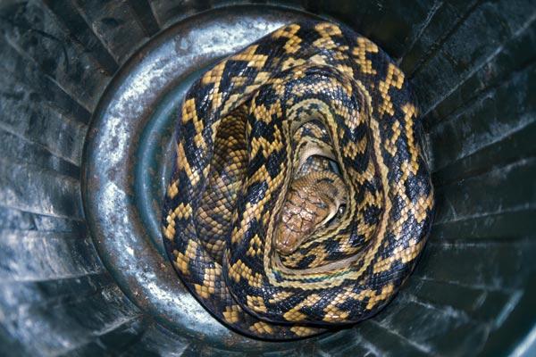 Australian Scrub Python