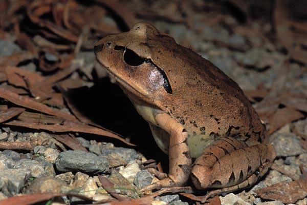 Great Barred Frog (Mixophyes fasciolatus)