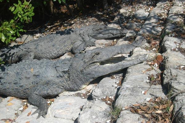 http://www.wildherps.com/images/herps/standard/04022103PD_crocodiles.jpg