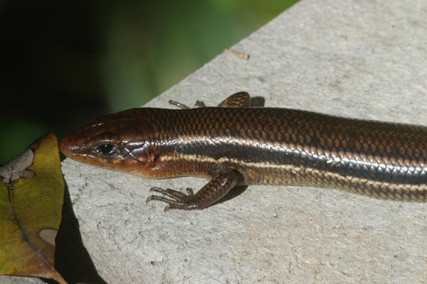 Southeastern Five-lined Skink (Plestiodon inexpectatus)