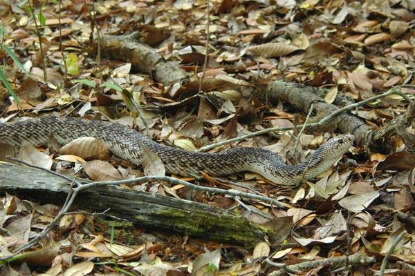 Pine snake, Pine snake-Pine snakes, Pine snake Pictures