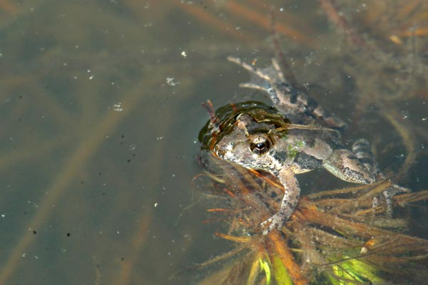 Southern Cricket Frog (Acris gryllus)