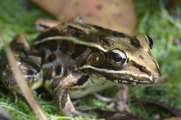 A large adult Pig Frog (Lithobates grylio) on the main park road ...