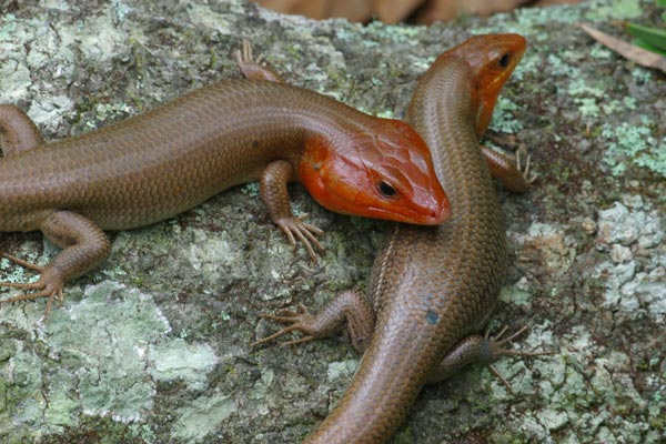 Broad-headed Skink (Plestiodon laticeps)