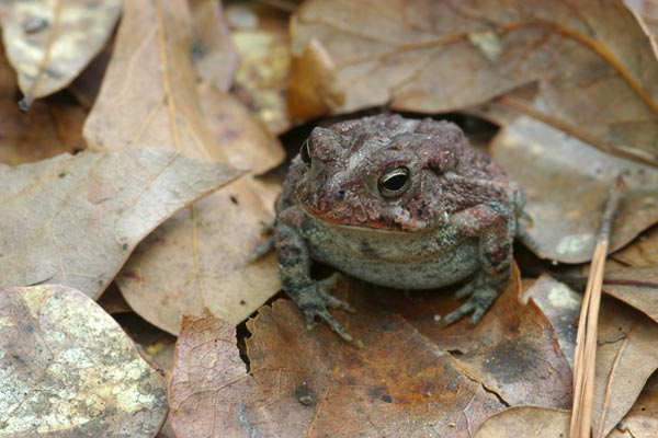 Southern Toad (Anaxyrus terrestris)