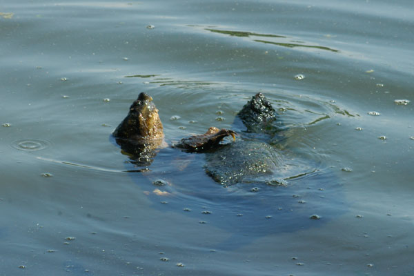 Pics Photos - Turtle Pictures Snapping Turtle In Water Jpg
