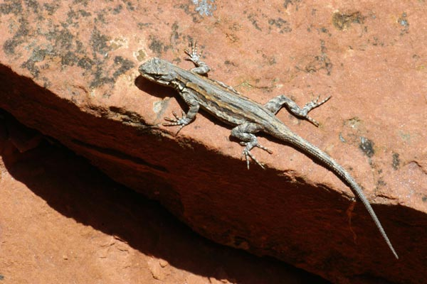 Sedona, Yavapai County, Arizona. Schott. Most of the tree lizards I've seen