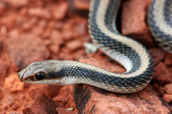 Desert Patch-nosed Snake (Salvadora hexalepis hexalepis)