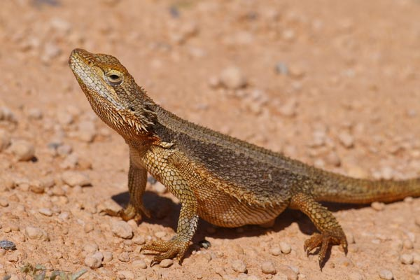 Dwarf Bearded Dragon (Pogona minor minor)