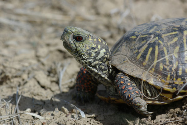 Plains Box Turtle (Terrapene ornata ornata)