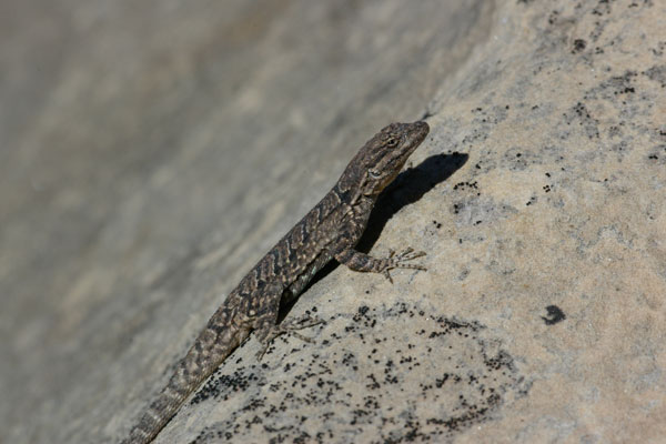 Northern Tree Lizard (Urosaurus ornatus wrighti)