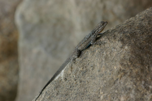 Small-scaled Lizard (Urosaurus microscutatus)
