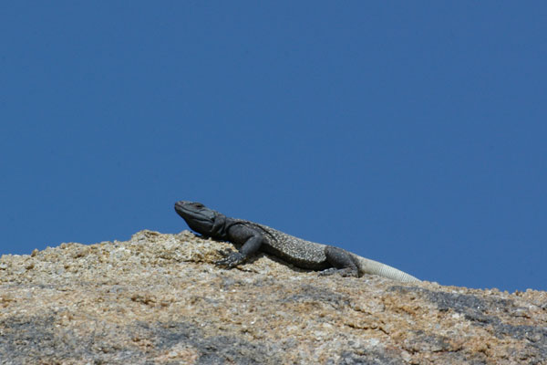 Common Chuckwalla (Sauromalus ater)