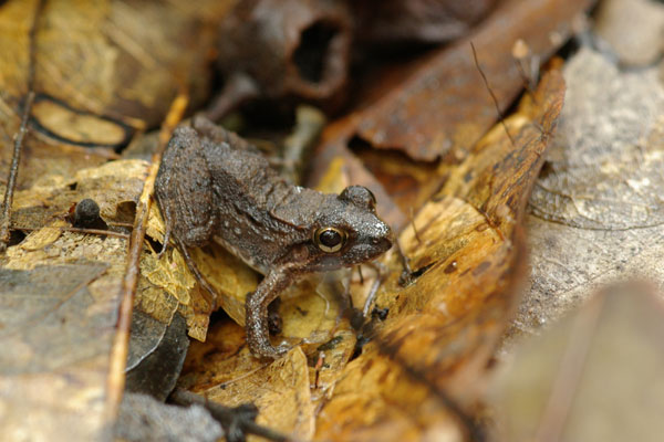Cocha Chirping Frog (Adenomera andreae)