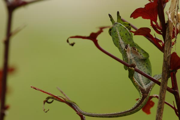 Canopy Chameleon (Furcifer willsii)