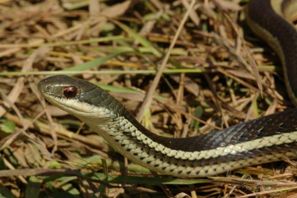 Lateral Water Snake (Thamnosophis lateralis)