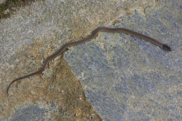 White-lipped Smooth Snake (Liophidium torquatum)