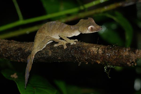 Fantastic Leaf-tailed Gecko (Uroplatus phantasticus)