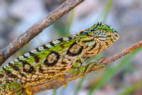 Jewelled Chameleon (Furcifer lateralis)