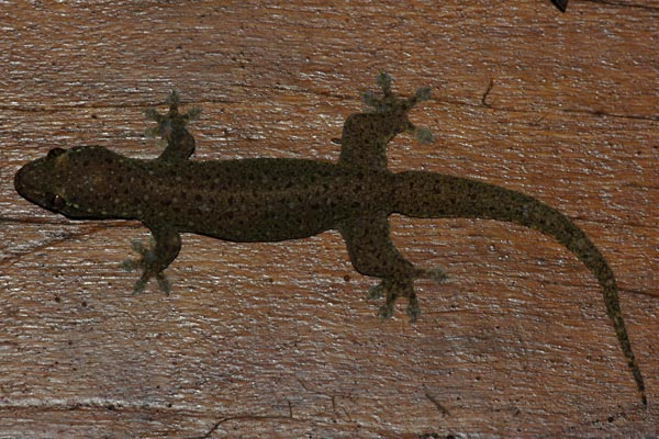 Common Four-clawed Gecko (Gehyra mutilata)