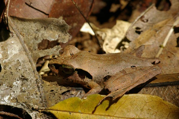 no known English name (Aglyptodactylus chorus)