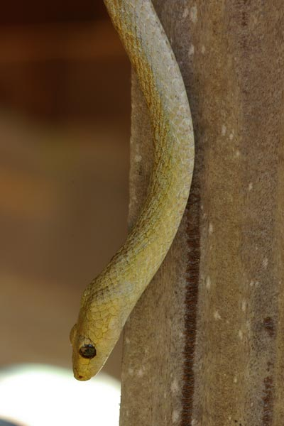 Perinet Night Snake (Ithycyphus perineti)