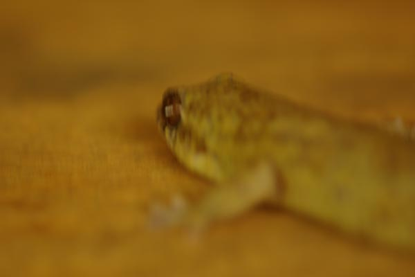 Golden Fish-scaled Gecko (Geckolepis maculata)