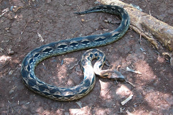 Madagascar Ground Boa (Acrantophis madagascariensis)