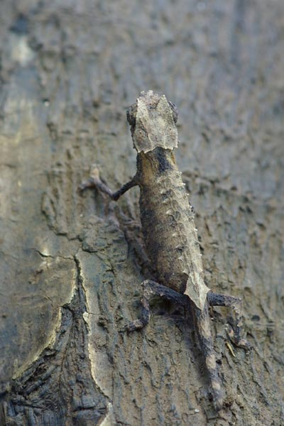 Plated Leaf Chameleon (Brookesia stumpffi)