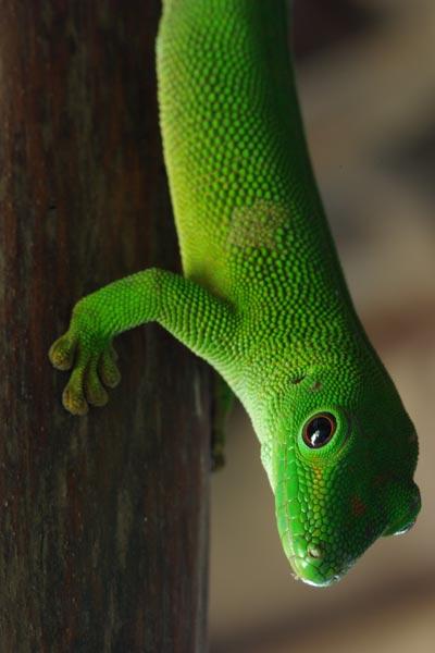 Wild Herps Giant Madagascar Day Gecko Phelsuma Grandis