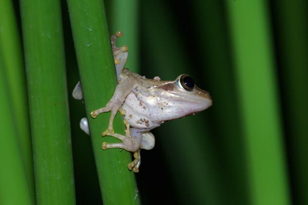 Douliot's Bright-eyed Frog (Boophis doulioti)