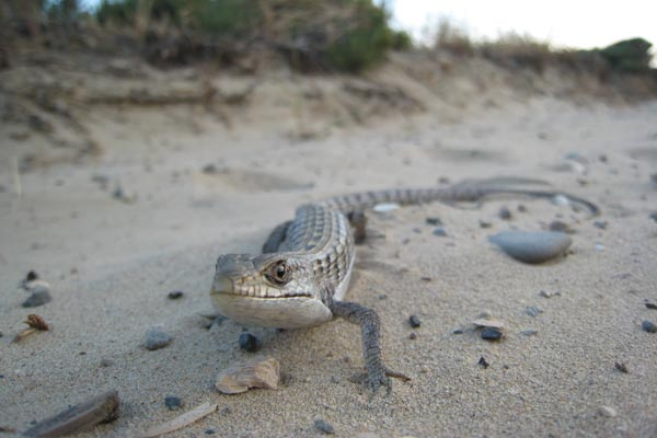California Alligator Lizard (Elgaria multicarinata multicarinata)