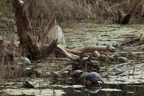 Yellow-bellied Slider (Trachemys scripta scripta)