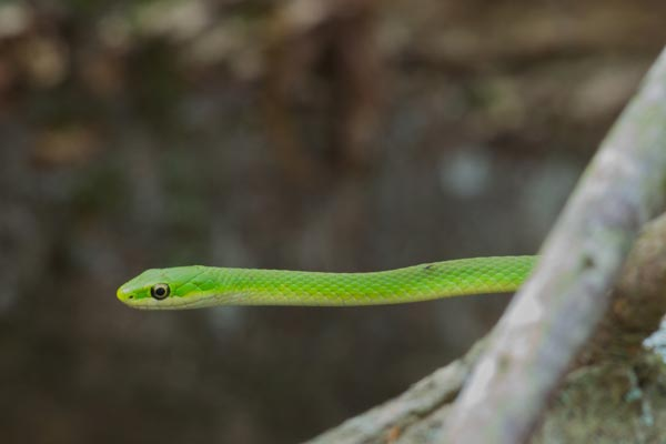 Northern Rough Greensnake (Opheodrys aestivus aestivus)