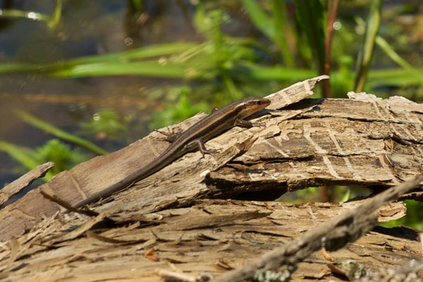 Common Five-lined Skink (Plestiodon fasciatus)