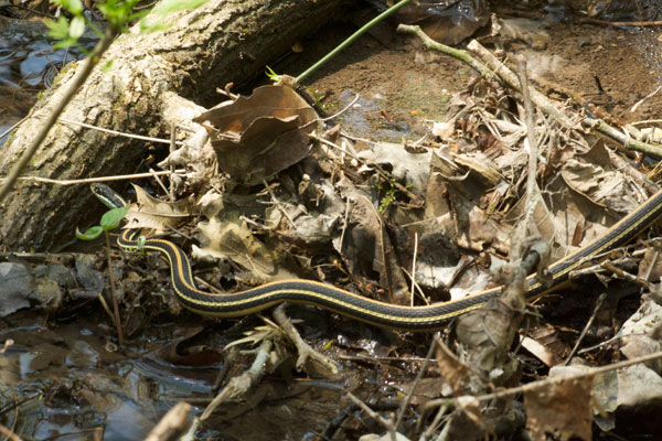 Orange-striped Ribbonsnake (Thamnophis proximus proximus)