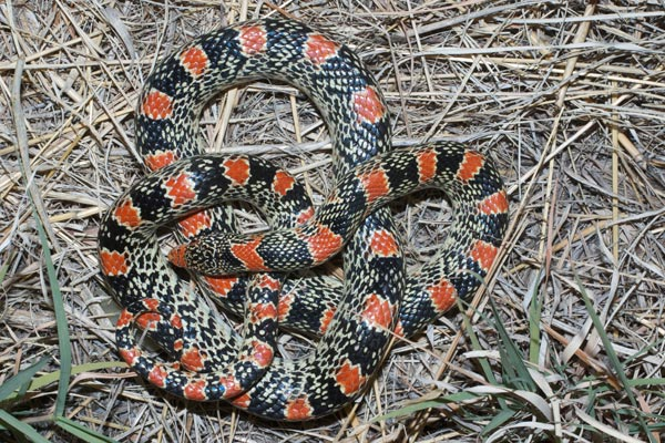 Long-nosed Snake (Rhinocheilus lecontei)