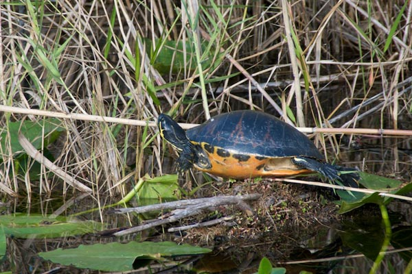 Florida Red-bellied Cooter (Pseudemys nelsoni)