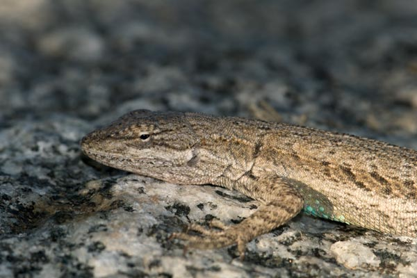Western Long-tailed Brush Lizard (Urosaurus graciosus graciosus)