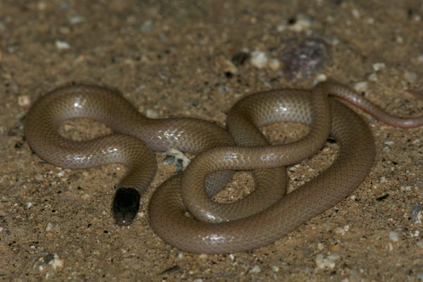 Western Black-headed Snake (Tantilla planiceps)