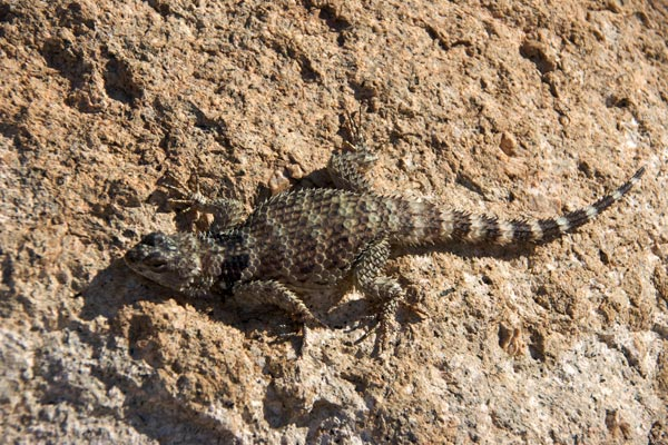 New Mexico Crevice Spiny Lizard (Sceloporus poinsettii poinsettii)