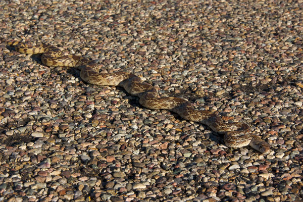 Sonoran Gopher Snake (Pituophis catenifer affinis)